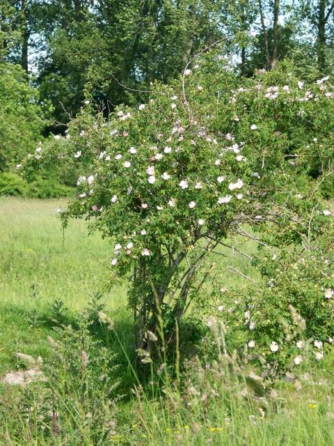 Dog Roses (Rosa canina), Faulston Farm