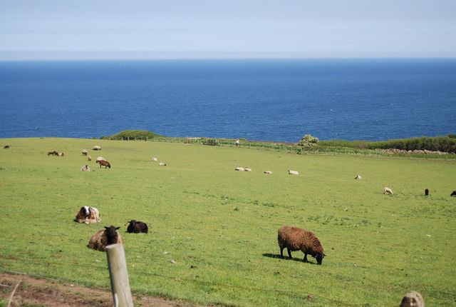 Sheep grazing by the old railway line outside Robin Hood's Bay