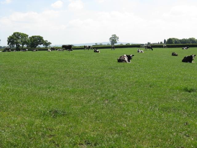 Cows on the footpath, Sandbach Heath