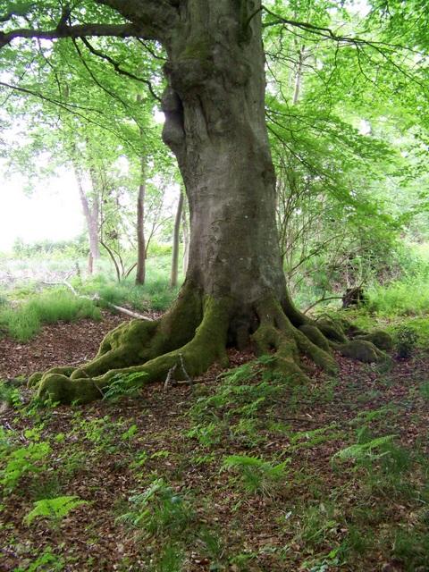Beech tree (Fagus sylvatica), Savernake Forest