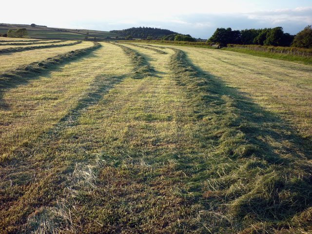 Freshly cut grass crop