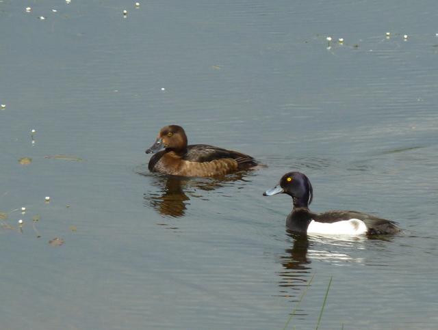 Tufted Duck pair at St. John's Loch