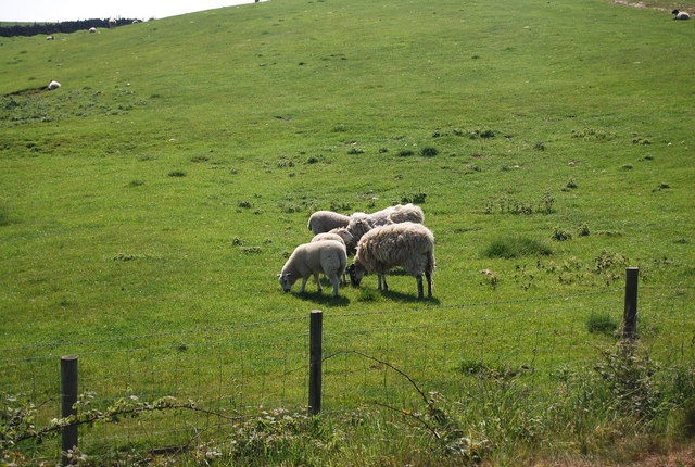 Sheep grazing by the old railway line