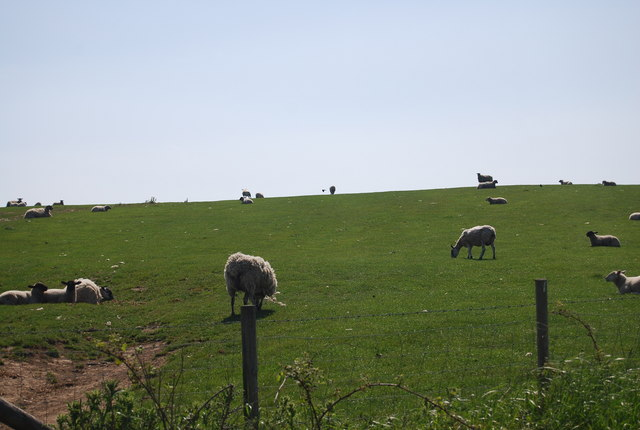 Sheep grazing near Bottom Farm
