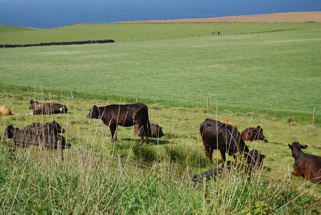 Cattle by the old railway line