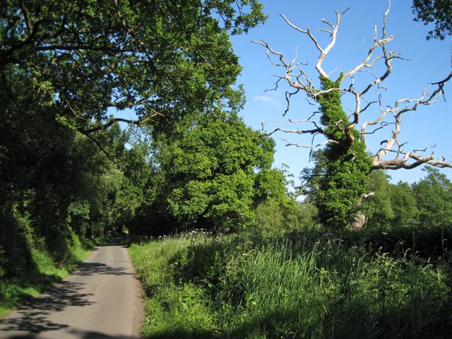 Dead tree by Pinley Road