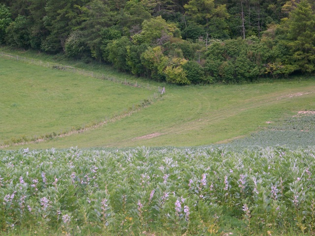 Field beans near Clapton