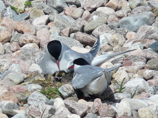 Arctic Terns feeding a chick