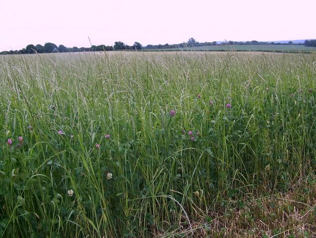 Silage crop near Wickham