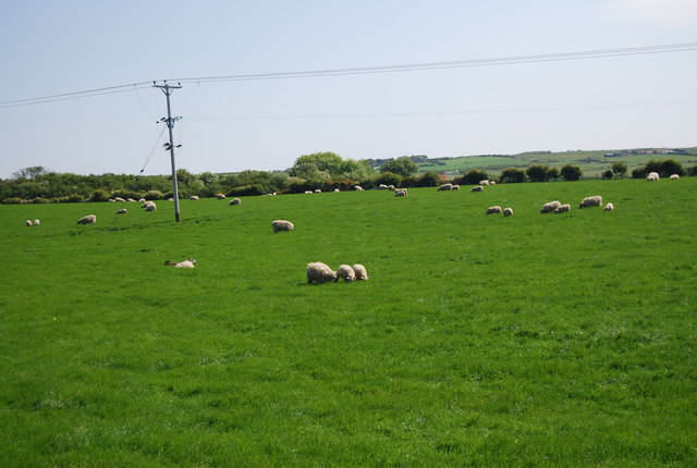 Sheep grazing near Hawsker