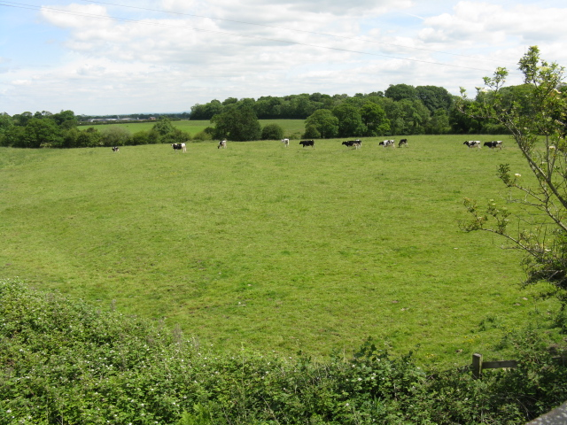 Cows grazing off Bradwall Road