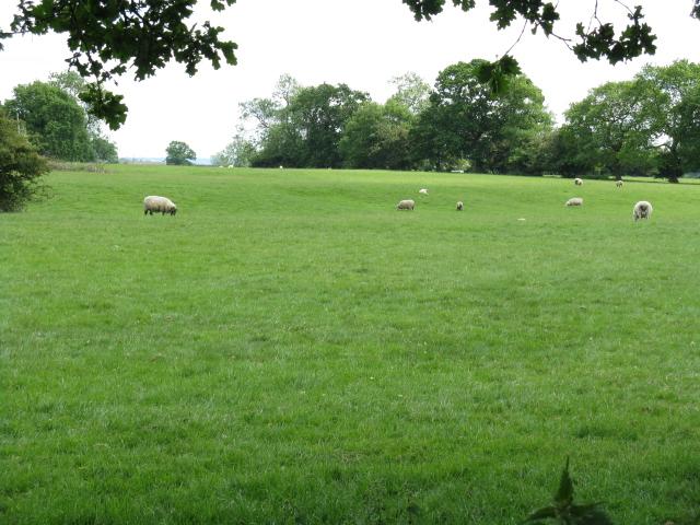 Sheep grazing off Mill Lane