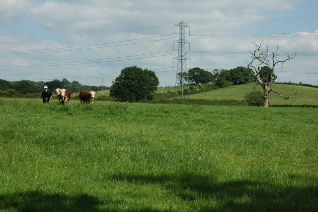 Hereford cattle at Spernall
