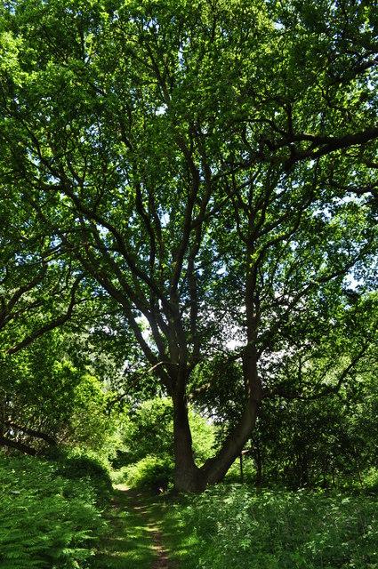 500 Year old Oaks