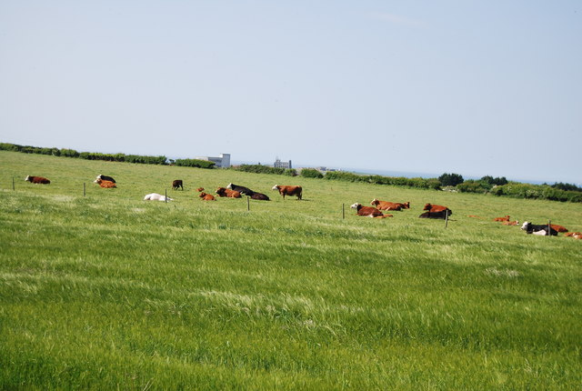 Cattle near Stainsacre