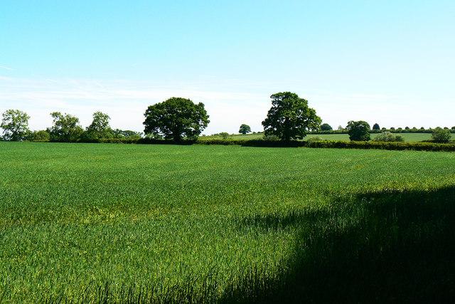 Wheat field south of Poulton
