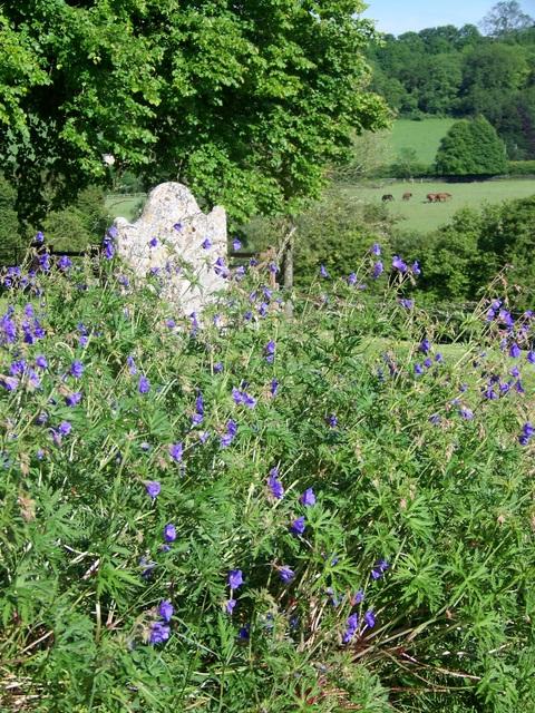 Meadow Cranesbill (Geranium pratense), St Mary's Churchyard