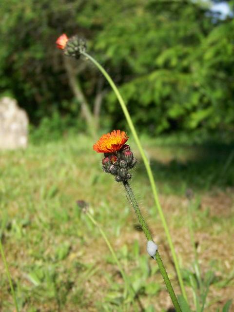 Orange Hawkweed (Pilosella aurantiacum)