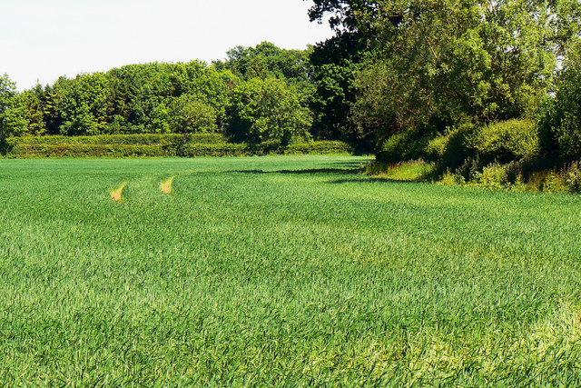 Wheat near Poulton Priory