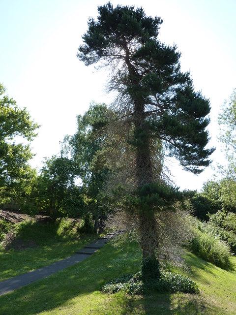 Pine Tree, Belle Isle Park, Exeter