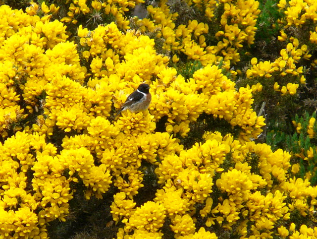 Stonechat, (Saxicola torquata)