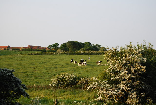 Cattle grazing by Field Lane