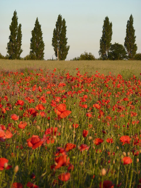 Field of poppies by the road from Bawtry to Blyth