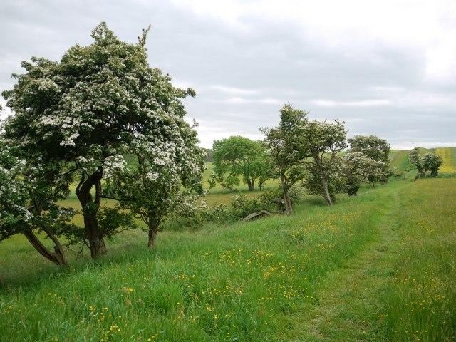 Old hedgerow at Shada Plantation