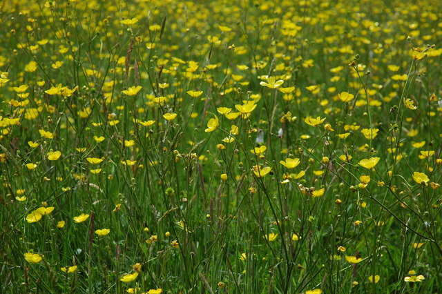 Buttercups in Ullenhall