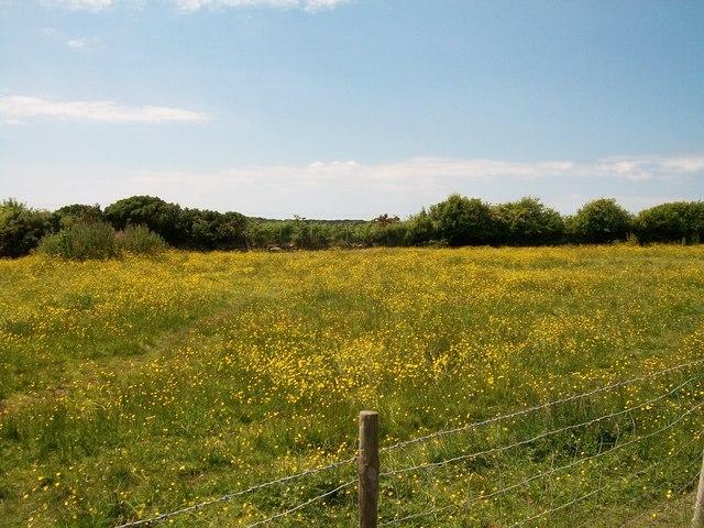 Buttercup meadow near Bryn-bachau