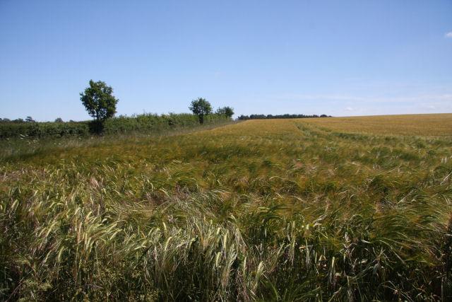 Barley field at Court Barns Farm