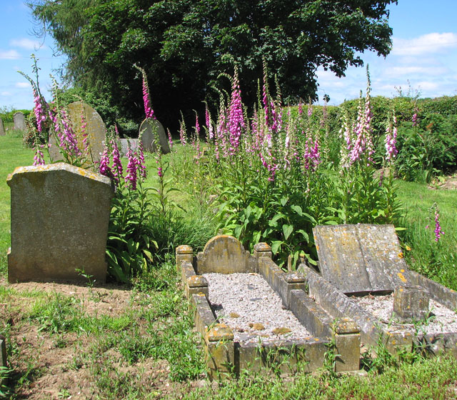 Foxgloves (Digitalis purpurea) in St Michael's churchyard
