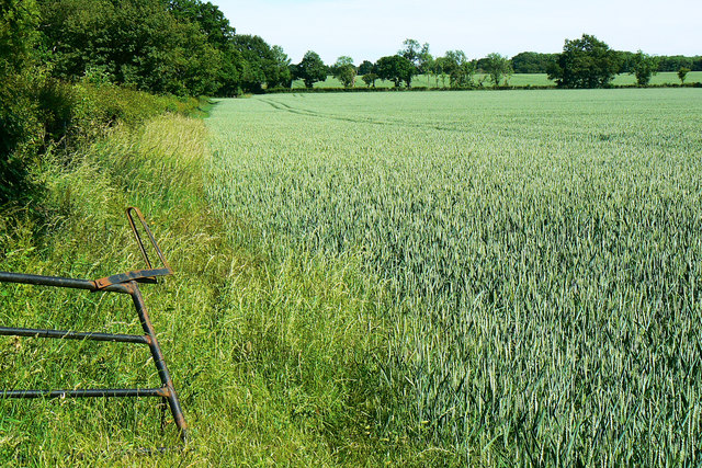 Wheat and a hedge near Driffield