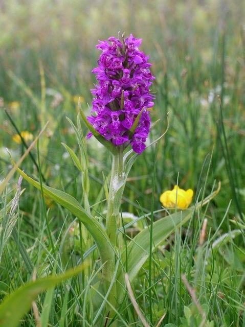 Northern Marsh-orchid (Dactylorhiza purpurella)