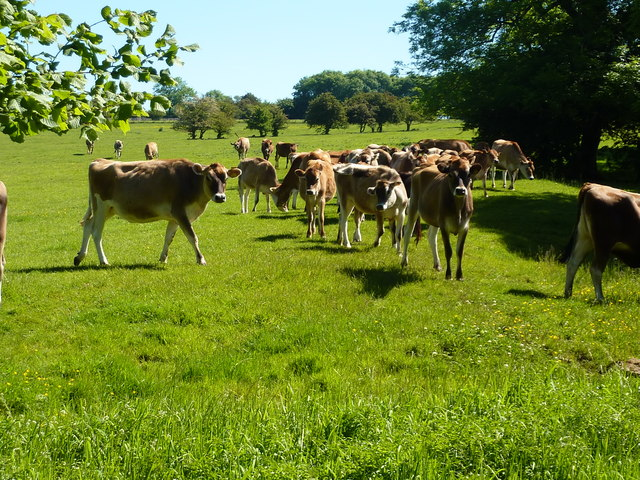 Herd of young cattle
