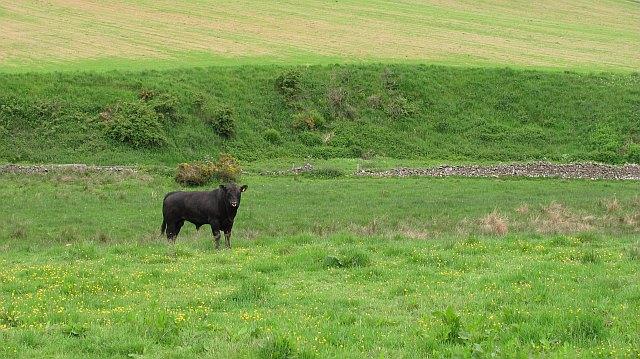 Aberdeen Angus bull