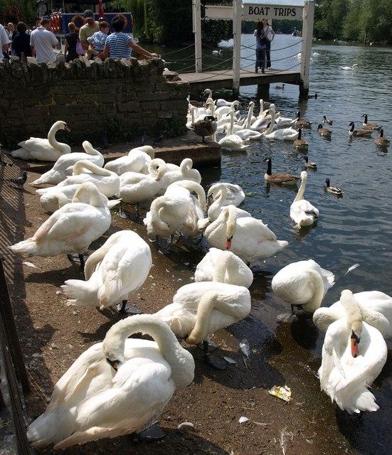 Swans at Windsor