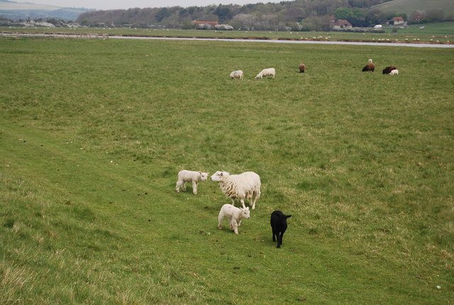 Sheep, Seven Sisters Country Park