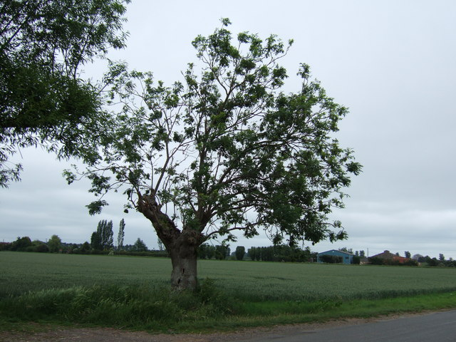 Tree on Parson Drove Lane
