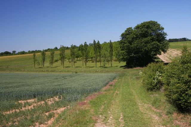 Wheat field and a poplar plantation