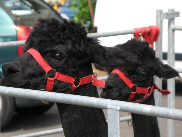 Black alpacas at the Allendale Fair
