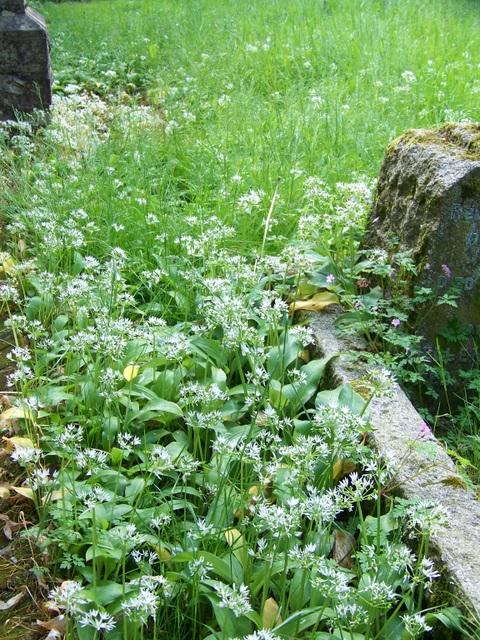 Ramsons (Allium ursinum )