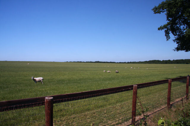 Sheep grazing west of Chippenham Road