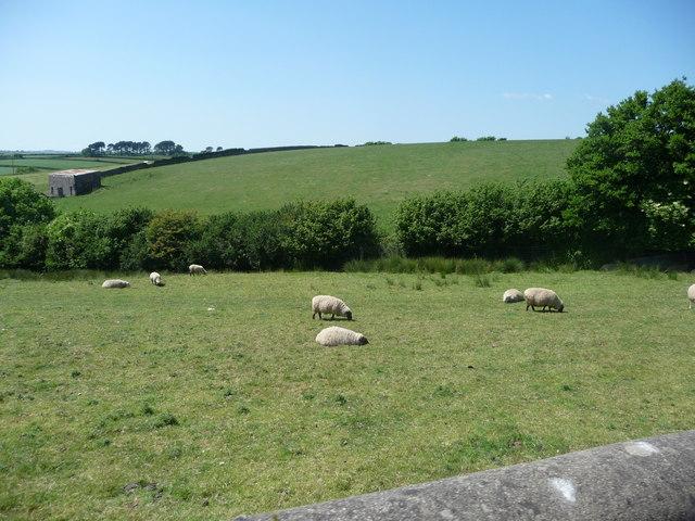 South Hams : Field & Sheep