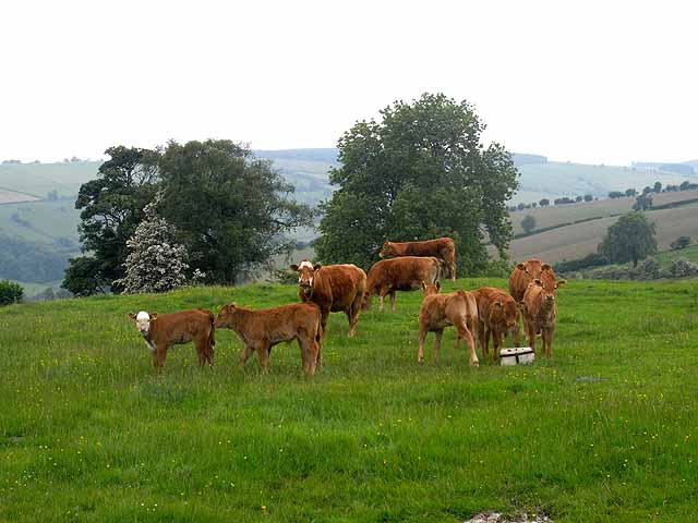 Cows and calves, Ale Oak Farm