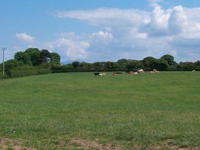 Grazing cattle near Gorphwysfa