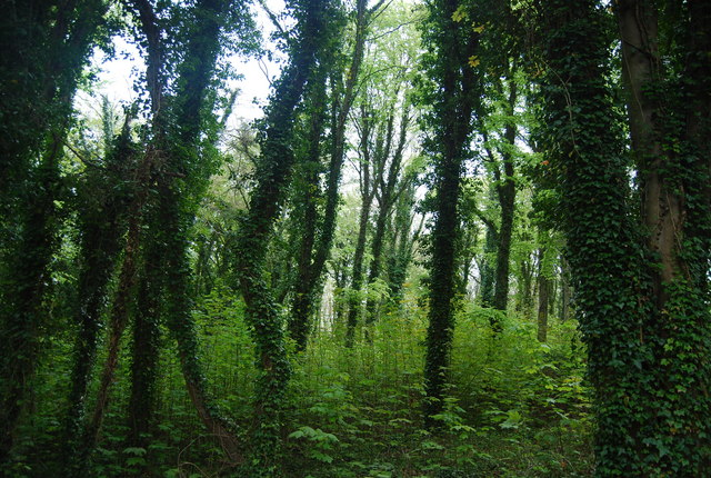 Ivy clad trees, Friston Forest