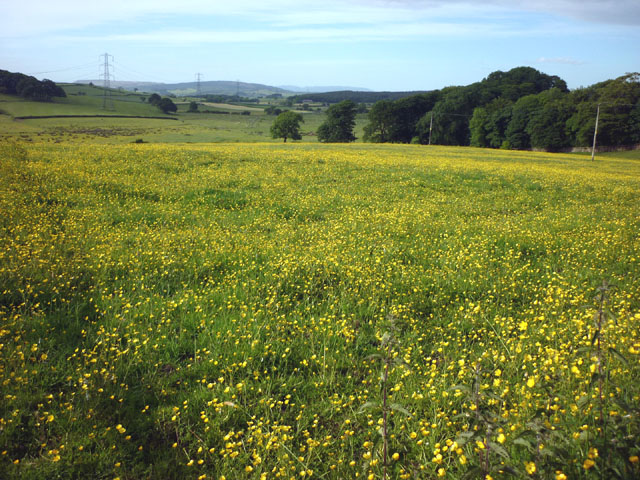 Buttercup meadow, Addington