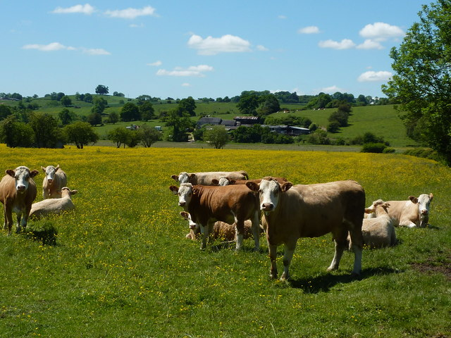 Cattle posing in a buttercup field