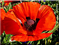 J3372 : Oriental poppy, Belfast : Week 25